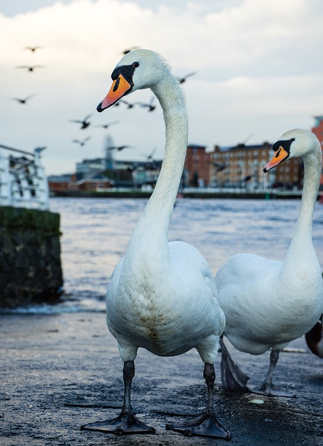 swan-4945099_640